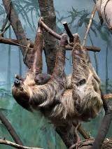 """Warszawskie Zoo. Leniwce wróciły na wybieg. """"Samiec potrafi złapać drzemkę podczas jedzenia"""""""