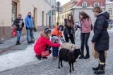 29. Finał WOŚP. Na ulicach Tarnowa trwa wielka kwesta. Wolontariuszy wspierają nawet... owieczki [ZDJĘCIA]