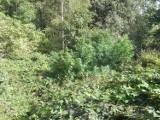 Powiat tarnowski. W lesie policjanci odkryli hodowlę konopi indyjskich, a w domu 30-latka zapasy marihuany