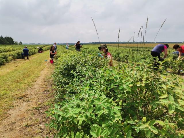 """""""Weekend z Jagodą Kamczacką"""" na plantacji we wsi Izabelmont. Czekają nie tylko owoce, ale też inne pyszności"""