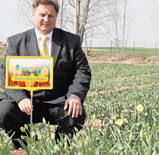Pierwsze tulipany w Chrzypsku już zakwitły