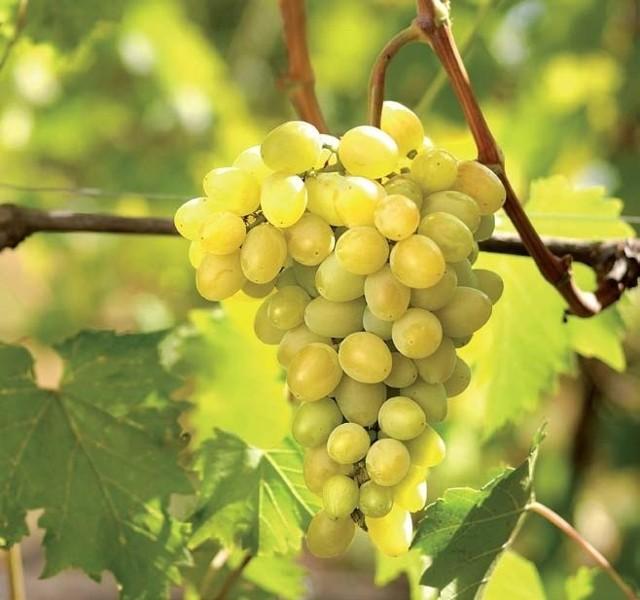 Wyciąg z pestek winogron wykazuje silne działanieprzeciwutleniające – silniejsze od witaminy C i E.