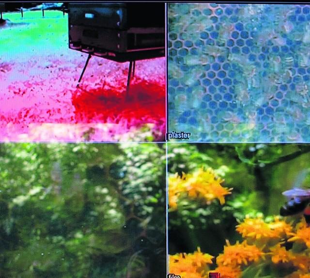Na monitorze oglądamy owady w ulu i w plenerze