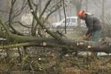 Wielka wycinka we Wrocławiu. Z miasta zniknie blisko 1000 drzew