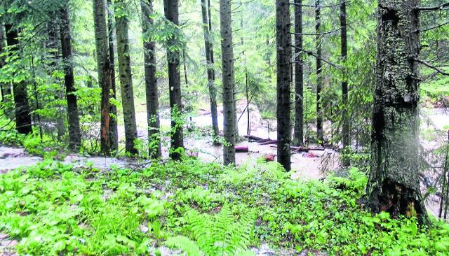 Znaczna część lasów Beskidu Sądeckiego od dwóch tygodni stoi w wodzie i umiera
