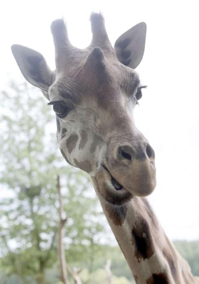 Żyrafa - jest aktywna w dzień, żyje w niewielkich stadach. Ma doskonale rozwinięte zmysły wzroku i słuchu. Żywi się liśćmi, pąkami, korą drzew, głównie akacji. Potrafi długo obejść się bez wody. Ciekawska, ale kiedy wyczuje zagrożenie ucieka.