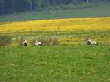 Szesnaście bocianów ucztowało na łące koło Mieroszowa w powiecie wałbrzyskim. Piękny i niecodzienny widok!