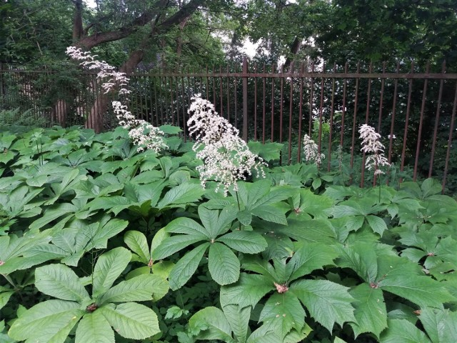 Różne gatunki można sadzić razem, bo mają takie same wymagania. Jednak różnią się wyglądem liści i ich zabarwieniem, a także kolorem kwiatów.