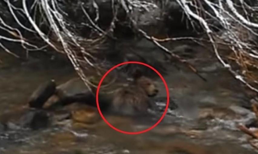 Tatry. Nie żyje niedźwiedź, który topił się w Dolinie Kościeliskiej
