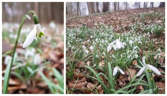 Szczecin wiosną zdobią krokusy, Dziwnówek nad morzem – przebiśniegi. Na wiosenne dywany białych kwiatów można natknąć się spacerując po lesie między Dziwnówkiem a Łukęcinem. Śnieżyczki porastają liściaste części lasu i należą do gatunków chronionych. Nic dziwnego, że tak przyciągają uwagę. Zobaczcie zdjęcia!   ZOBACZ TEŻ: 10 symptomów wiosny w lesie