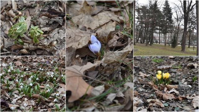 W Parku Strzeleckim pojawiły się pierwsze kwiaty