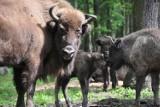 Żubry czekają na imiona.  Konkurs Ośrodka Kultury Leśnej w Gołuchowie