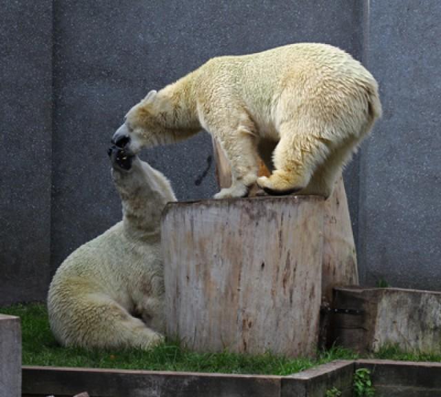 Niedźwiedzie z warszawskiego ZOO obchodzą 5 urodziny [ZDJĘCIA]