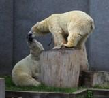 Piąte urodziny niedźwiedzi. Zobacz misie z warszawskiego ZOO [ZDJĘCIA]
