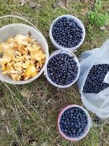 Pierwsze letnie grzyby. W lasach koło Szczecinka sypnęło kurkami. Jagody też są [zdjęcia]