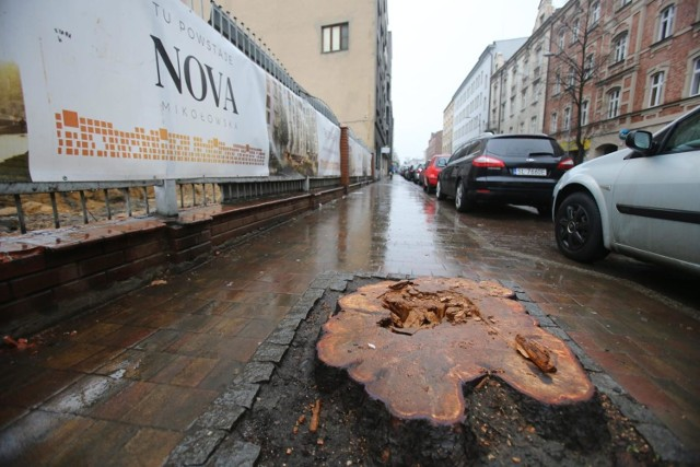 Trzy wycięte kasztanowce rosły przy ulicy Raciborskiej w centrum Katowic.  Zobacz kolejne zdjęcia. Przesuwaj zdjęcia w prawo - naciśnij strzałkę lub przycisk NASTĘPNE