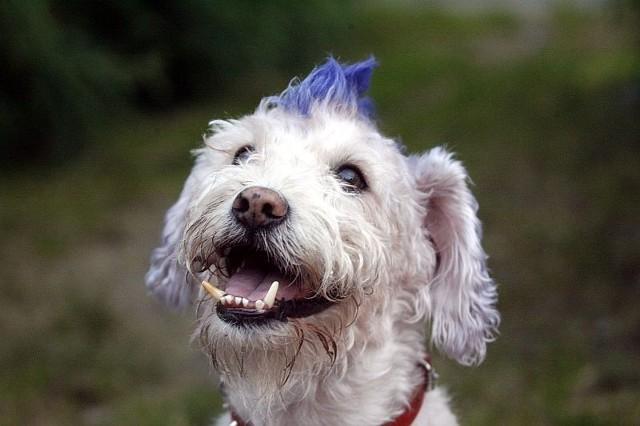 """Kundel to pies, który nie jest zaliczany do żadnej z ras psów. Określany również jako mieszaniec lub wielorasowiec. Jesteś właścicielem wyjątkowego psiaka? Wyślij jego zdjęcia na adres wroclaw@naszemiasto.pl (w tytule wpisując """"Pies"""") - umieścimy je w naszej galerii. Wysyłając zdjęcie oświadczasz, że jestes autorem zdjęcia zgadzasz się na jego publikację w serwisie naszemiasto.pl"""