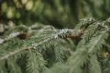 Grodzisk: Co zrobić z żywą choinką po świętach? Harmonogram odbioru drzewek