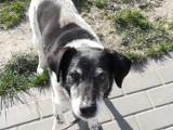 Pies Kajtek poszukiwany - czy ktoś widział tego czworonoga? Prosimy o informacje