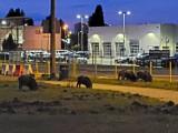Nocna wyprawa dzików w Poznaniu. Zwierzęta pojawiły się w pobliżu kina Kinepolis. Rodzice z dziećmi przestraszeni [ZDJĘCIA, FILM]