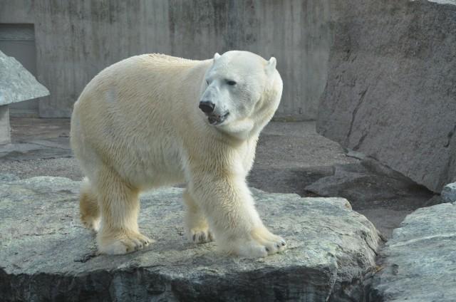 Być może w śląskim zoo znowu będzie biały niedźwiedź