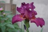 Irysy. Rośliny z rodziny kosaćcowatych, o dużych, kolorowych kwiatach