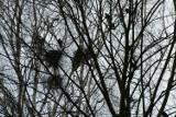Nie będzie płoszenia ptaków w koluszkowskim parku miejskim. Gawrony i kawki już zaczęły gniazdowanie