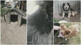 Powiat dąbrowski. Łańcuchy wrzynały się psom w szyje, do jedzenia dostawały pomyje. Właścicielka nie przejmowała się ich losem [ZDJĘCIA]