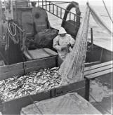 Sieci pełne ryb! Tak rybacy Korabia kiedyś w Ustce łowili ryby [ZDJĘCIA]
