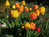 Różnorodne tulipany w ogrodzie w Hnatkowicach koło Przemyśla [ZDJĘCIA INTERNAUTKI]