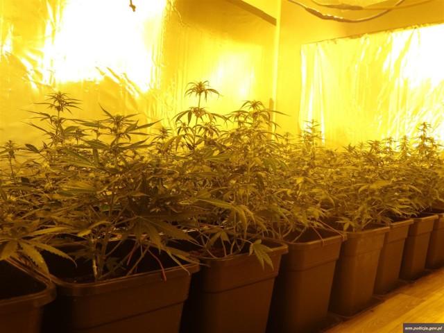 Pojechali zatrzymać podejrzanego, odkryli plantację marihuany