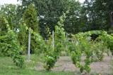 Rolnicy zamiast ziemniaków będą uprawiali winogrona?