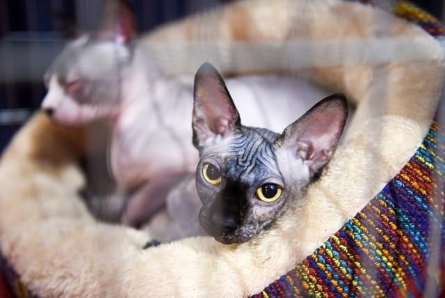 W sobotę i w niedzielę w Auli UMK odbywała się Międzynarodowa Wystawa Kotów Rasowych. Wydarzenie zorganizowane zostało przez Stowarzyszenie Hodowców Kotów. Zobaczcie, jak było!  Zobacz także: Wraki w Toruniu. To one straszą na ulicach! Dębowa Góra z lotu ptaka. Zobacz unikalne zdjęcia