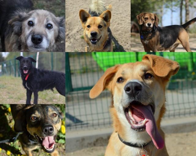 W bydgoskim schronisku dla zwierząt mieszka wiele wspaniałych psów, które wciąż szukają kochających domów. Poznajcie osiem z nich.   W sprawie adopcji można kontaktować się ze Schroniskiem dla Zwierząt w Bydgoszczy telefonicznie pod numerem 512 28 28 53 oraz mailowo: adopcje@schronisko.org.pl.
