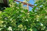 Bluszcz pospolity. Wiecznie zielone pnącze do ogrodu. Jak uprawiać bluszcz i gdzie go sadzić