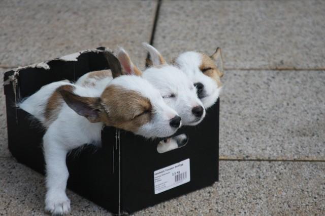 Zastanawialiście się nad zakupem rasowego psa? Wbrew pozorom nie jest to taka droga inwestycja! Ceny najdroższych psów wahają się od kilku do kilkudziesięciu tysięcy złotych, choć cena psa znajdującego się na podium może zaskoczyć i zszokować. W galerii przedstawiamy ceny najdroższych ras psów - wszystkie pochodzą z polskich portali sprzedażowych.  Zobacz na kolejnych slajdach, posługując się klawiszami strzałek, myszką lub gestami >>>  ZOBACZ NAJDROŻSZE PSY >>>