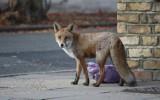 Ludzie w domach, a na ulicach miast zwierzęta