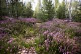 Fioletowe pola pod Warszawą. Wybierzcie się na najpiękniejsze wrzosowisko w Polsce