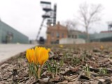 Krokusy w Katowicach kwitną w... lutym. Gdzie są już szafrany, kwiaty, które zwiastują wiosnę? Zdjęcia z 16 i 17 lutego 2020.