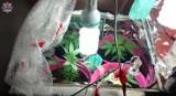 Kamień. Uprawa marihuany w szafie, 22-latka z zarzutami - WIDEO