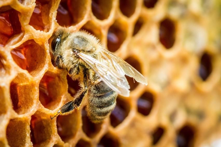 Pszczoły cenimy za pyszny i zdrowy miód, który produkują z...