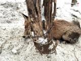 W Rudzie Śląskiej lis wpadł we wnyki zastawione przez kłusownika. Miał owinięty drut wokół szyi!
