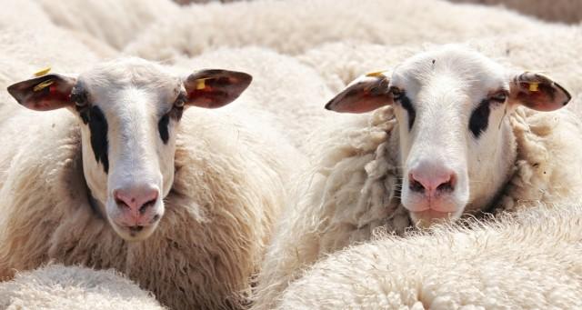 24 martwe oraz kilkadziesiąt skrajnie wygłodzonych owiec odkryli funkcjonariusze policji na jednym z gospodarstw w miejscowości Sanka koło Krzeszowic w Małopolsce.