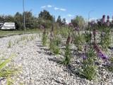 Tychy: Rondo i parkingi, które zatrzymują wodę, czyli mikroretencja i bioretencja