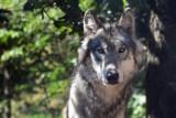 Wilki w naszych lasach. Jak się zachować, jeśli spotkamy wilka?