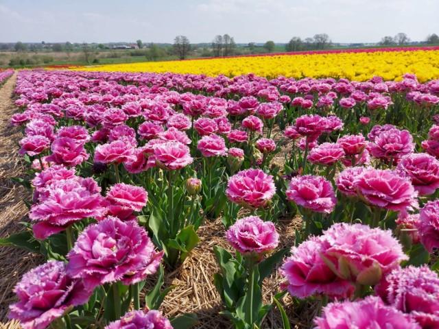 """Na polach Bogdana Królika właśnie zakwitlo dziesięć milionów tulipanów. To """"polska Holandia"""" - mówią ci, którzy je oglądają (13.05.2021)."""