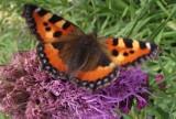 Kolorowe motyle na kwiatch w ogrodzie - fotogaleria