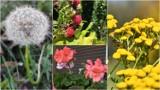Tarnów. Kwitnące kwiaty i krzewy, owoce pod koniec listopada. Kolorowa późna jesień w Tarnowie tuż przed przymrozkami [ZDJĘCIA] 20.11.2020