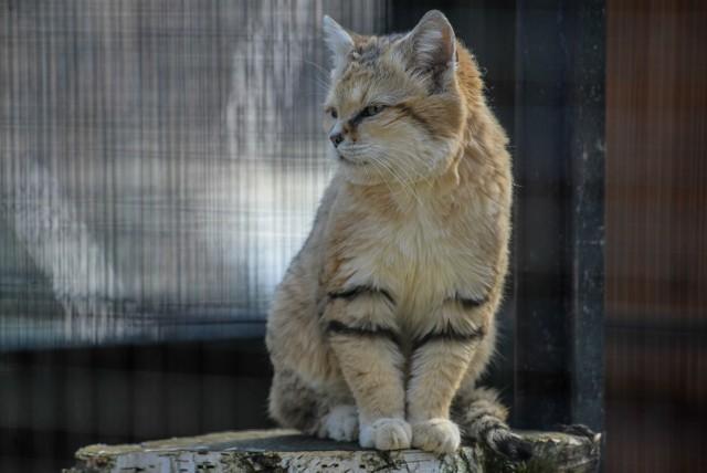 """Kot arabski to trochę kot w... butach albo co najmniej z podeszwami na  stopach.  W tego rodzaju """"obuwie"""" gatunek ten  został wyposażony przez naturę, by mógł żyć na pustyni i chodzić po gorącym piachu. Tworzy je sierść, porastająca od  spodu jego stopy. W gdańskim zoo mieszka w pomieszczeniu przylegającym do  lwiarni.  Chociaż wygląda jak domowy kot, to jest znacznie groźniejszym, chociaż ostrożnym  łowcą -  z powodzeniem poluje na pająki i węże.    Naturalnym środowiskiem kota arabskiego  są piaszczyste tereny pustynne Afryki i południowo-zachodniej Azji, pokryte rzadką roślinnością. Natura doskonale wyposażyła tego małego drapieżnika do życia w ekstremalnych warunkach pustynnych.   Potrafi ze zdumiewającą szybkością kopać nory w piasku, które podczas upałów w ciągu dnia lub zimnych nocy służą mu za schronienie.  Zakres temperatur możliwych do przetrwania jest imponujący: od - 5º C do +52 º C. Duże uszy, które mogą być odchylane w kierunku poziomym i ku dołowi, doskonale wychwytują najmniejszy szmer pochodzący od  ukrywającej się zdobyczy.   Kot arabski poluje głównie na drobne gryzonie, ponadto na  węże i stawonogi, a  nadmiar pokarmu na następny posiłek ukrywa pod piaskiem. Niestety działalność człowieka przyczyniła się do  zmniejszania jego liczebności w naturze."""