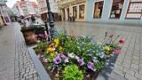 Zielonogórski deptak w kwiatach. Warto go odwiedzić, zwłaszcza że ogródki gastronomiczne będą otwarte!